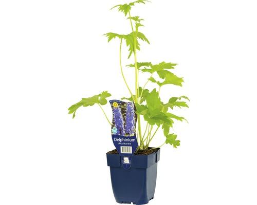 Pied-d''alouette Delphinium-Cultivars Blue Bird'' h 5-150 cm Co 0,5 l (6 pce.)-0