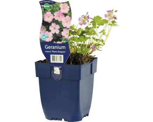Géranium Geranium x riversleaianum ''Mavis Simpson'' h 5-25 cm Co 0,5 l (6 pce.)