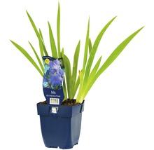 Iris x germanica ''Empress of India'' h 5-90 cm Co 0,5 l (6 pce.)-thumb-0
