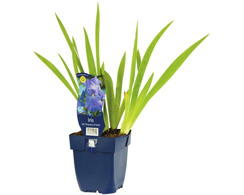 Iris x germanica ''Empress of India'' h 5-90 cm Co 0,5 l (6 pce.)