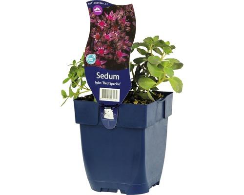 Orpin Sedum-Cutivars ''Red Sparkle'' h 5-40 cm co 0,5 l (6 pces)