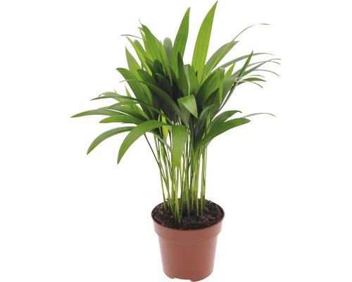 Palmiste multipliant FloraSelf Dypsis lutescens H40-60cm pot de 12cm de Ø