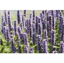 Cultivar d''Agastache Agastache-Cultivars ''Blue Fortune'' h 5-70 cm Co 0,5 l (6 pièces)-thumb-0