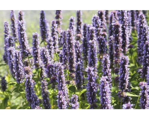 Cultivar d''Agastache Agastache-Cultivars ''Blue Fortune'' h 5-70 cm Co 0,5 l (6 pièces)-0