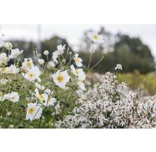 Anémone d''automne Anemone hupehensis var. japonica ''Honorie Jobert'' h 5-100 cm Co 0,5 l (6 pièces)-thumb-0