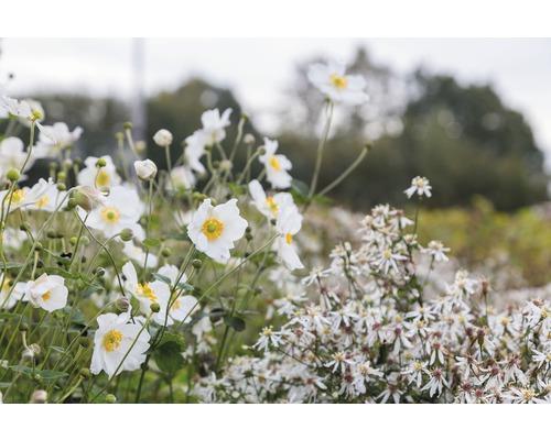 Anémone d''automne Anemone hupehensis var. japonica ''Honorie Jobert'' h 5-100 cm Co 0,5 l (6 pièces)-0