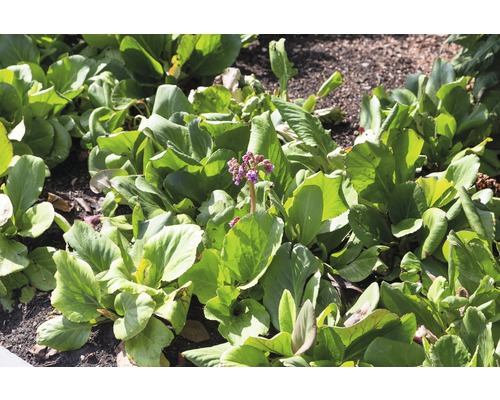 Bergénie Bergenia cordifolia h 5-40 cm Co 0,5 l (6 pièces)
