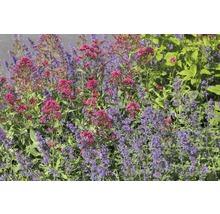 Valériane rouge Centranthus ruber ''Cocciuneus'' h 5-60 cm Co 0,5 l (6 pièces)-thumb-0