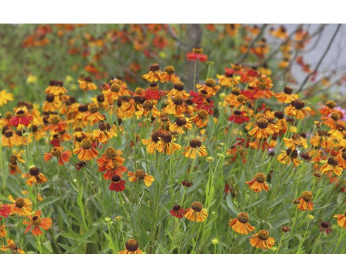 Hélénie Helenum-Cultivars ''Moerheim Beauty'' h 5-70 cm Co 0,5 l (6 pièces)