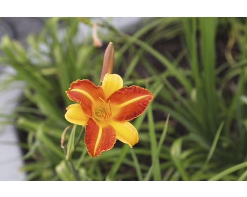 Hémérocalle Hemerocallis-Cultivars ''Frans Hals'' h 5-90 cm Co 0,5 l (6 pce.)