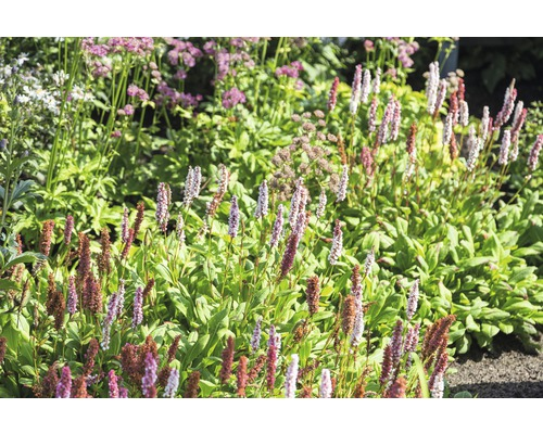Persicaire Bistorta affinis ''Darjeeling Red'' (anciennement Persicaria aff. ''Darjeeling Red'') h 5-20 cm co 0,5l (6 pces)
