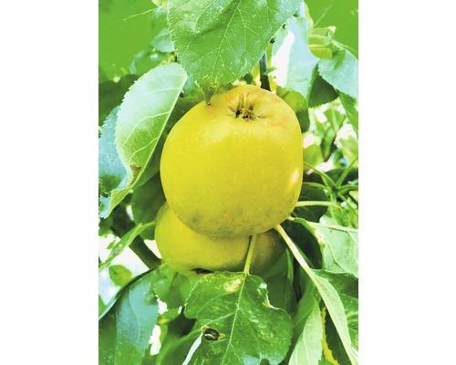 Säulenapfelbaum FloraSelf Malus domestica Starline ® 'Garden Fontain' H 120-180 cm Co 10 L