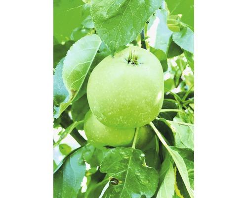 Pommier commun Malus domestica Starline ® ''Green Fink'' h120-180cm Co 10l