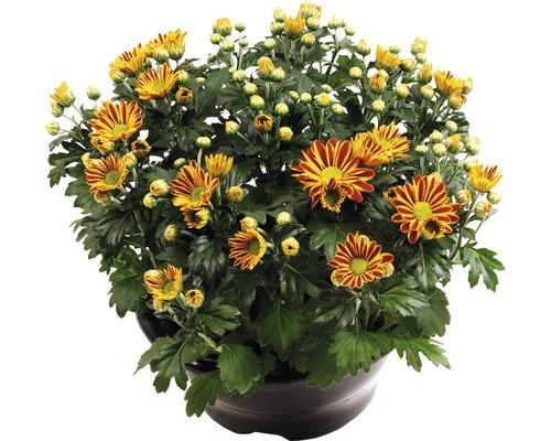 Chrysantheme FloraSelf Chrysanthemum indicum ''Hoi Hoi'' Ø 23 cm Topf