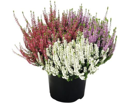 Calluna, Besenheide FloraSelf Calluna vulgaris ''Beauty Ladies SIX MIX'' Ø 17 cm Topf versch. Sorten, Farben