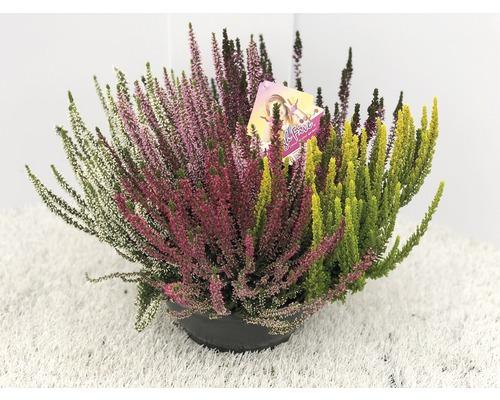Calluna, Besenheide FloraSelf Calluna vulgaris ''Beauty Ladies High Five'' Ø 23 cm Topf versch. Sorten, Farben