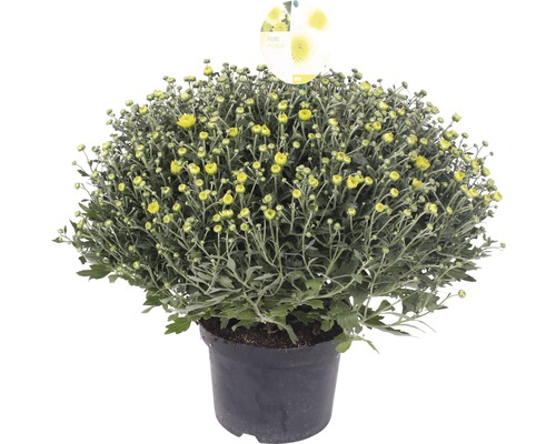 Chrysanthème Chrysanthemum indicum x grandiflorum ''Primo Pistache'' pot Ø 19 cm