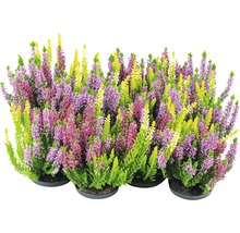 Calluna, bruyère commune Trio FloraSelf Calluna vulgaris ''Beauty Ladies'' pot Ø 11 cm diff. sortes et couleurs-thumb-0