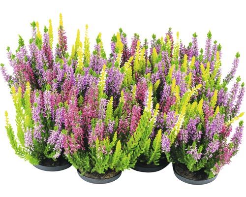 Calluna, bruyère commune Trio FloraSelf Calluna vulgaris ''Beauty Ladies'' pot Ø 11 cm diff. sortes et couleurs