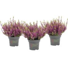 Calluna, Besenheide, Knospenheide FloraSelf Calluna vulgaris 'Beauty Ladies' Ø 11 cm Topf versch. Sorten und Farben 1 Stk.-thumb-1
