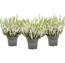 Calluna, Besenheide, Knospenheide FloraSelf Calluna vulgaris 'Beauty Ladies' Ø 11 cm Topf versch. Sorten und Farben 1 Stk.-thumb-10