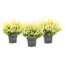 Calluna, Besenheide, Knospenheide FloraSelf Calluna vulgaris 'Beauty Ladies' Ø 11 cm Topf versch. Sorten und Farben 1 Stk.-thumb-4