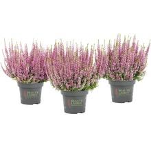 Calluna, Besenheide, Knospenheide FloraSelf Calluna vulgaris 'Beauty Ladies' Ø 11 cm Topf versch. Sorten und Farben 1 Stk.-thumb-5