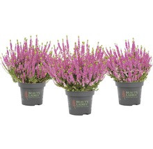 Calluna, Besenheide, Knospenheide FloraSelf Calluna vulgaris 'Beauty Ladies' Ø 11 cm Topf versch. Sorten und Farben 1 Stk.-thumb-7