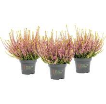 Calluna, Besenheide, Knospenheide FloraSelf Calluna vulgaris 'Beauty Ladies' Ø 11 cm Topf versch. Sorten und Farben 1 Stk.-thumb-8
