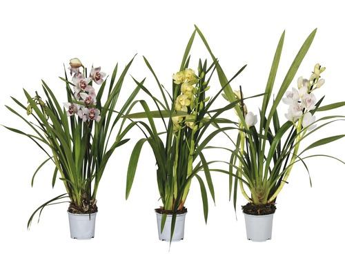 Orchidée cymbidium FloraSelf Cymbidium-Cultivars h 50-70 cm pot Ø 12 cm diff. sortes
