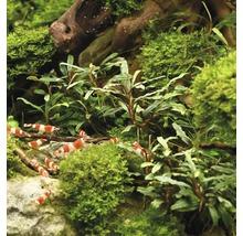 Bucephalandra à feuilles étroites-thumb-2