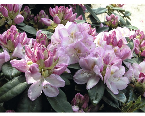 Rhododendron à grosses fleurs FloraSelf Rhododendron ''Gomer waterer'' h 60-70 cm co 15 l