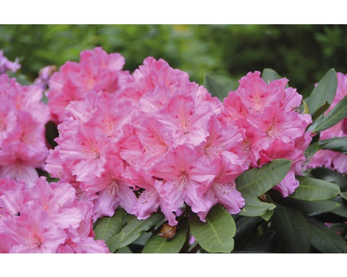 Rhododendron à grosses fleurs FloraSelf Rhododendron ''Germania''® h 60-70 cm co 15 l