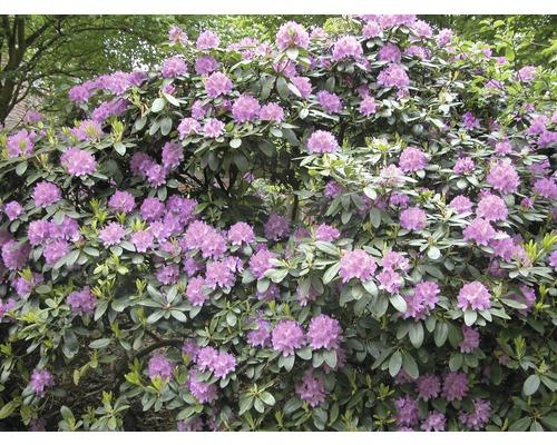 Rhododendron à grosses fleurs FloraSelf Rhododendron ''Catawbiense Grandiflorum'' h 60-70 cm co 15 l