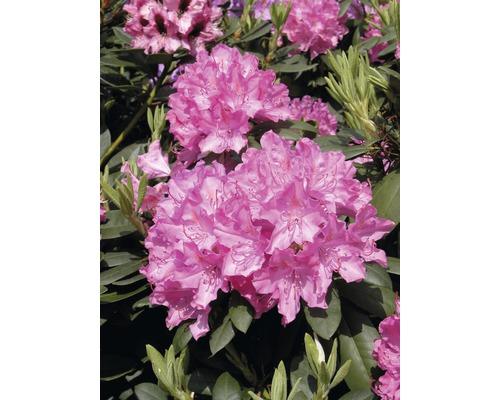Rhododendron à grosses fleurs FloraSelf Rhododendron ''Roseum Elegans'' h 60-70 cm co 15 l