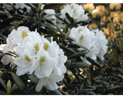 Rhododendron à grosses fleurs FloraSelf Rhododendron ''Cunningham''s white'' h 60-70 cm co 15 l