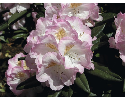 Rhododendron à grosses fleurs FloraSelf Rhododendron ''Brigitte'' h 60-70 cm co 15 l