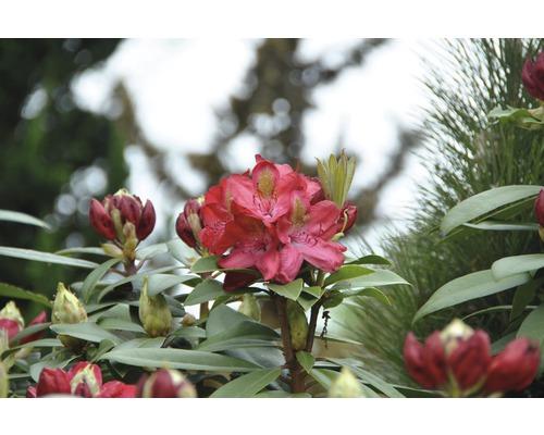 Rhododendron à grosses fleurs FloraSelf Rhododendron ''Junifeuer'' h 60-70 cm co 15 l