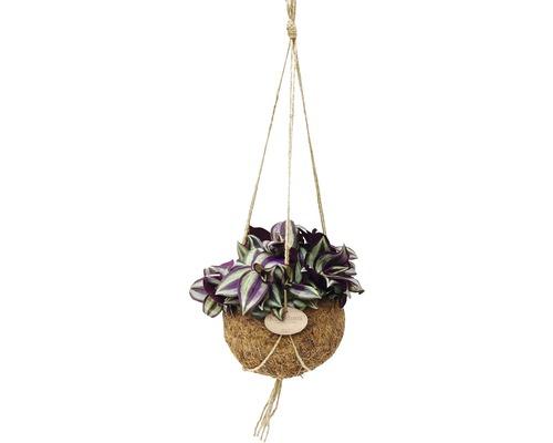 Suspension Kokodama misère FloraSelf ensemble de suspension florale, Tradescantia purpusii H 15-20 cm pot Ø 15 cm