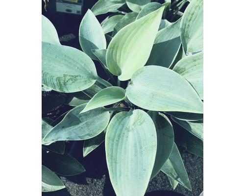 Hosta tardiana gris-bleu ''Halcyon'' h 10-30 cm Co 0,5 l (6 pièces)-0
