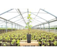 Raisin de table à très fort rendement Vitis vinifera « Bianca » h 40-60 cm Co 2 L-thumb-2