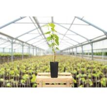 Raisin de table robuste vinifera « Phoenix » h 40-60 cm Co 2 L-thumb-2