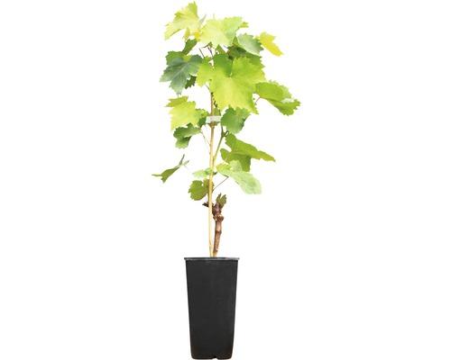Raisin de table à très fort rendement Vitis vinifera « Alfons Lavallee » h 40-60 cm Co 2 L