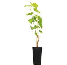 Raisin de table robuste vinifera « Phoenix » h 40-60 cm Co 2 L-thumb-1