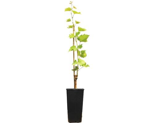 Raisin de table à forte croissance vinifera « Velika » h 40-60 cm Co 2 L