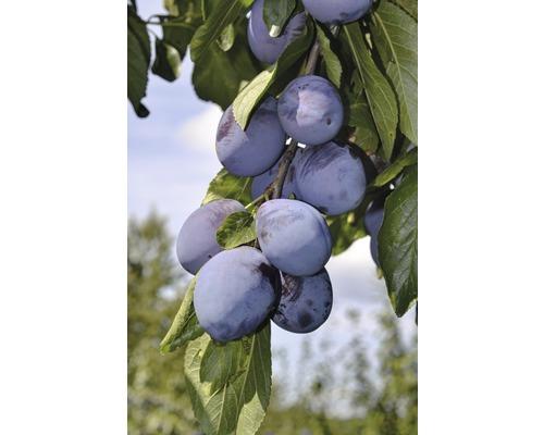 Säulen-Zwetschgenbaum FloraSelf Prunus domestica 'Anja' H 120-180 cm Co 10 L