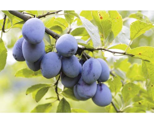 Quetschier FloraSelf Prunus domestica ''Elena''® H100-150cm Co 7,5L