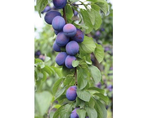 Prunier de Bâle FloraSelf Prunus domestica ''Julia'' H80-120cm Co 7,5l