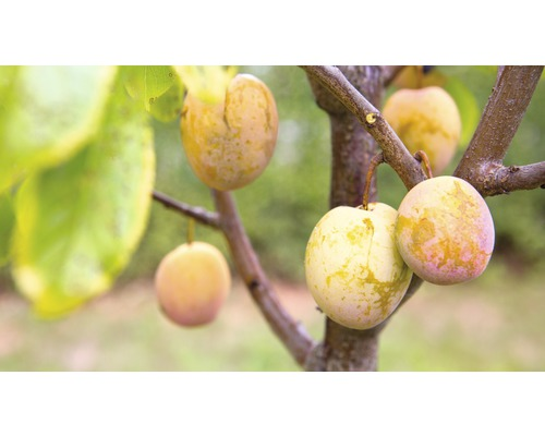 Prunier colonnaire Prunus domestica Starline® ''Aprimira'' h 130-180 cm Co 12 l