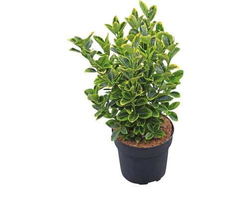 Spindelstrauch FloraSelf Euonymus japonicus ''Aureus'' H 25-30 cm Co 6 L